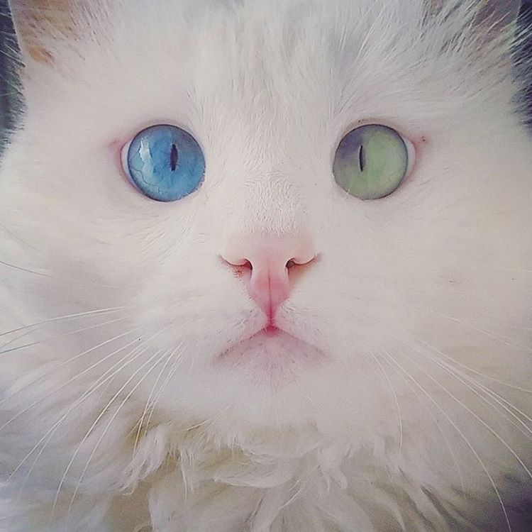 Blue-Green Eye color Cat